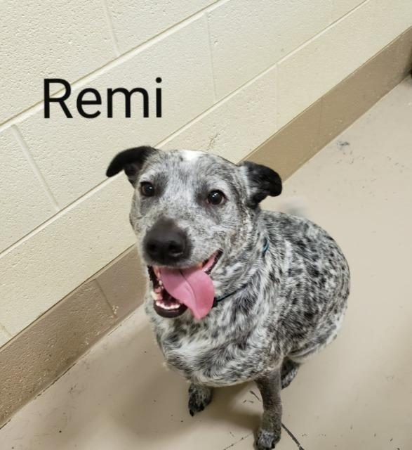 Adopt Remi On Adoption Australian Cattle Dog Pet Adoption