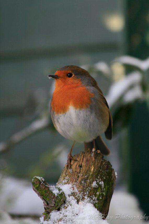 Greetings Card  English Robin  127mm x by WildNaturePhotograph