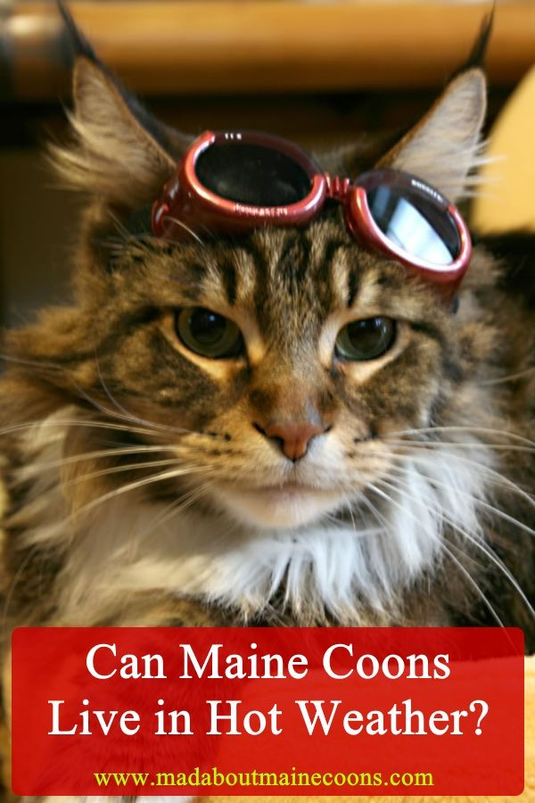 Can Maine Coons Live In Hot Weather Maine Coon Maine Coon