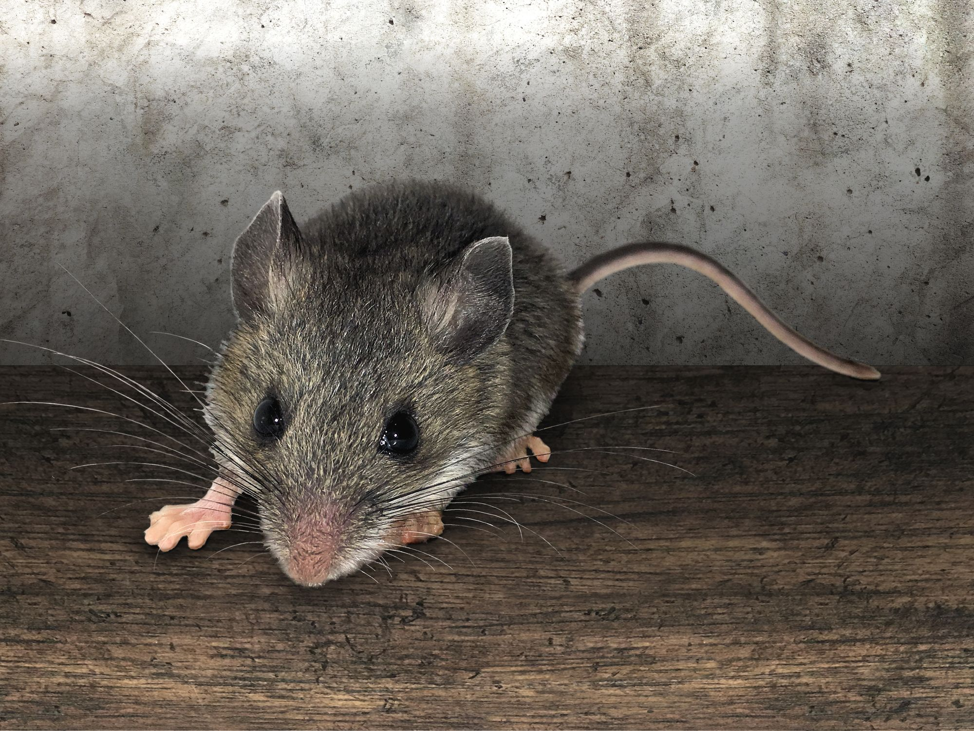 Rodent Tip Tuesday Mice Facts The House Mouse Is Considered One Of The Top 100 World S Worst Invaders Mice Are Afraid Of R Rodents House Mouse Exterminator