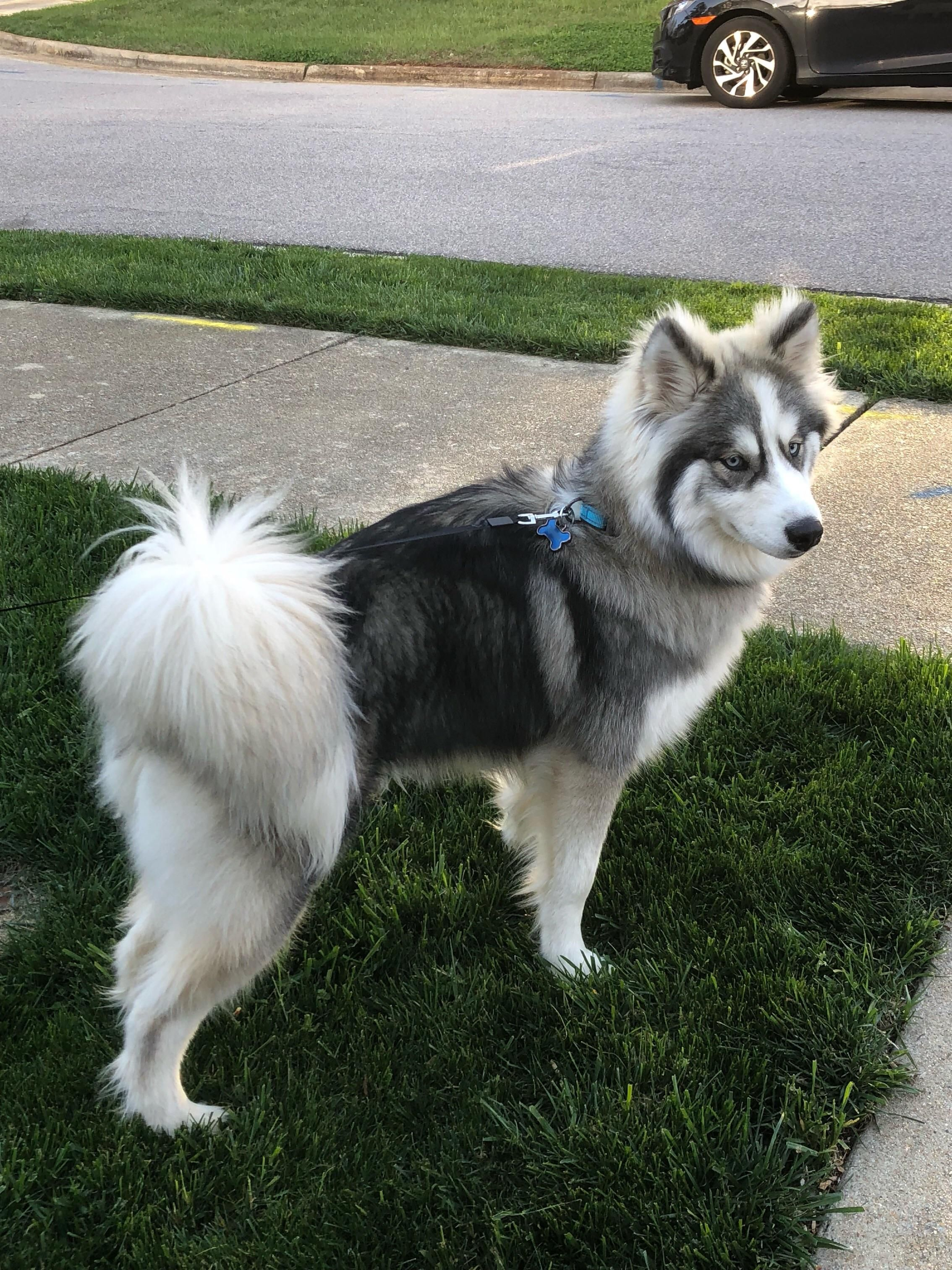 Majestic Boy Getting Ready For A Walk Https Ift Tt 2mipbhc Malamute Puppies Wolf Dog Dog Breeds