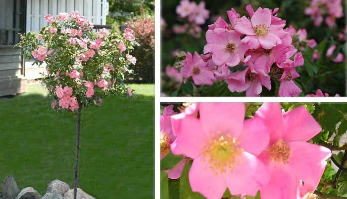 Finally a hardy tree rose developed especially for the northern finally a hardy tree rose developed especially for the northern garden polar joy rose is smothered in stunning pink flowers with lemon yellow eyes at the mightylinksfo