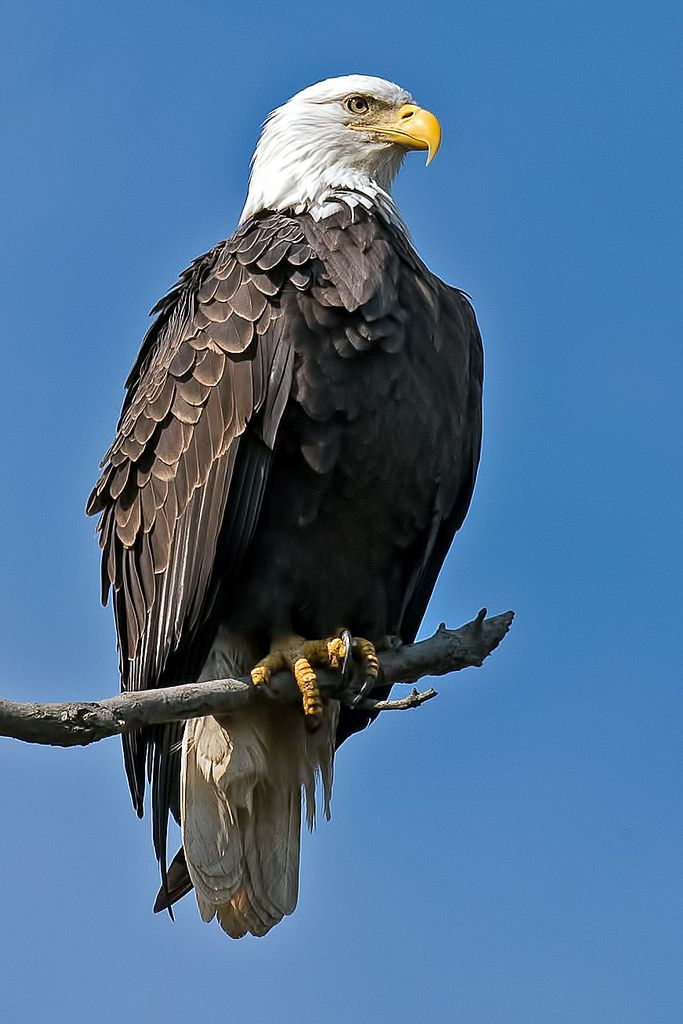 American Bald Eagle   Bald eagle, Eagle images, Pet birds