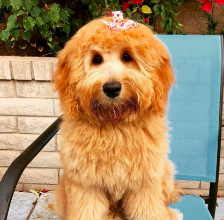 Have you been thinking about adopting a Goldendoodle? This