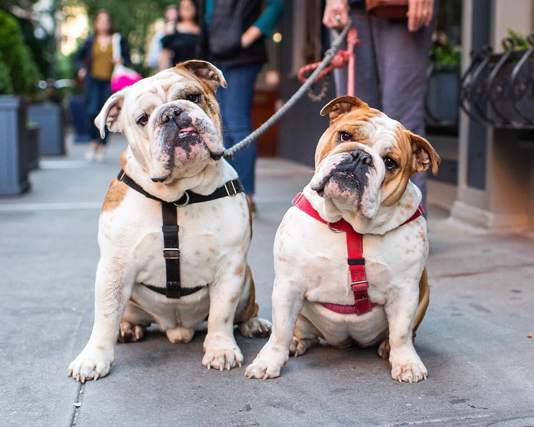 The Dogist On Instagram Gunnar Aggie English Bulldogs 5 Y O Bedford Downing St New York Ny Aggie Is A English Bulldog Australian Kelpie Bulldog