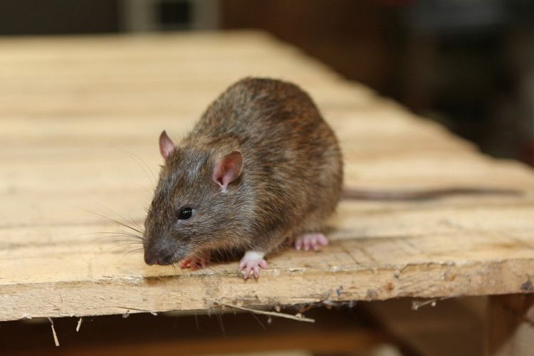Los Angeles City Hall Is Being Overrun With Rats Mice Control Rodent Control Pest Control