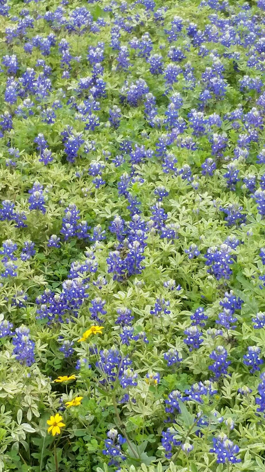 Bluebonnets In Bloom Corpus Christi 3 2019 Corpus Christi Texas Corpus Christi Texas Gardening