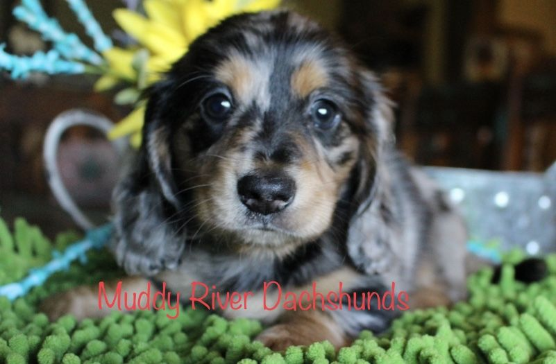 Muddy River Dachshunds Black Dapple Dachshund Puppies Puppies