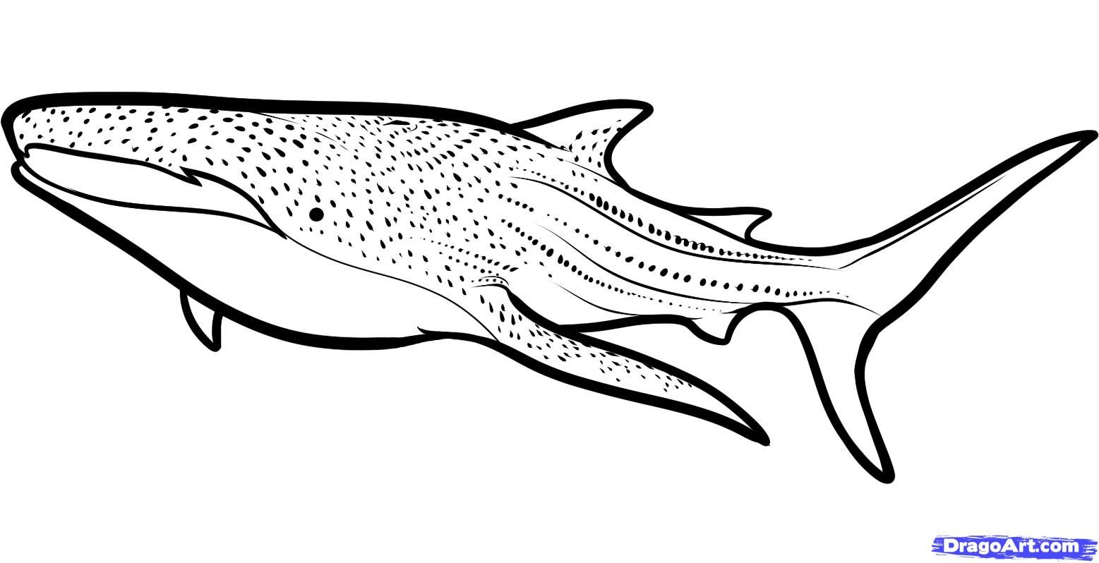 how to draw a whale shark whale shark step 610000000895795jpg