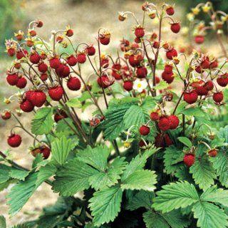 fragaria vesca walderdbeere wild woodland strawberry. Black Bedroom Furniture Sets. Home Design Ideas