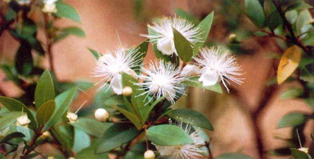 Myrten | Krukväxter | Myrtus communis |
