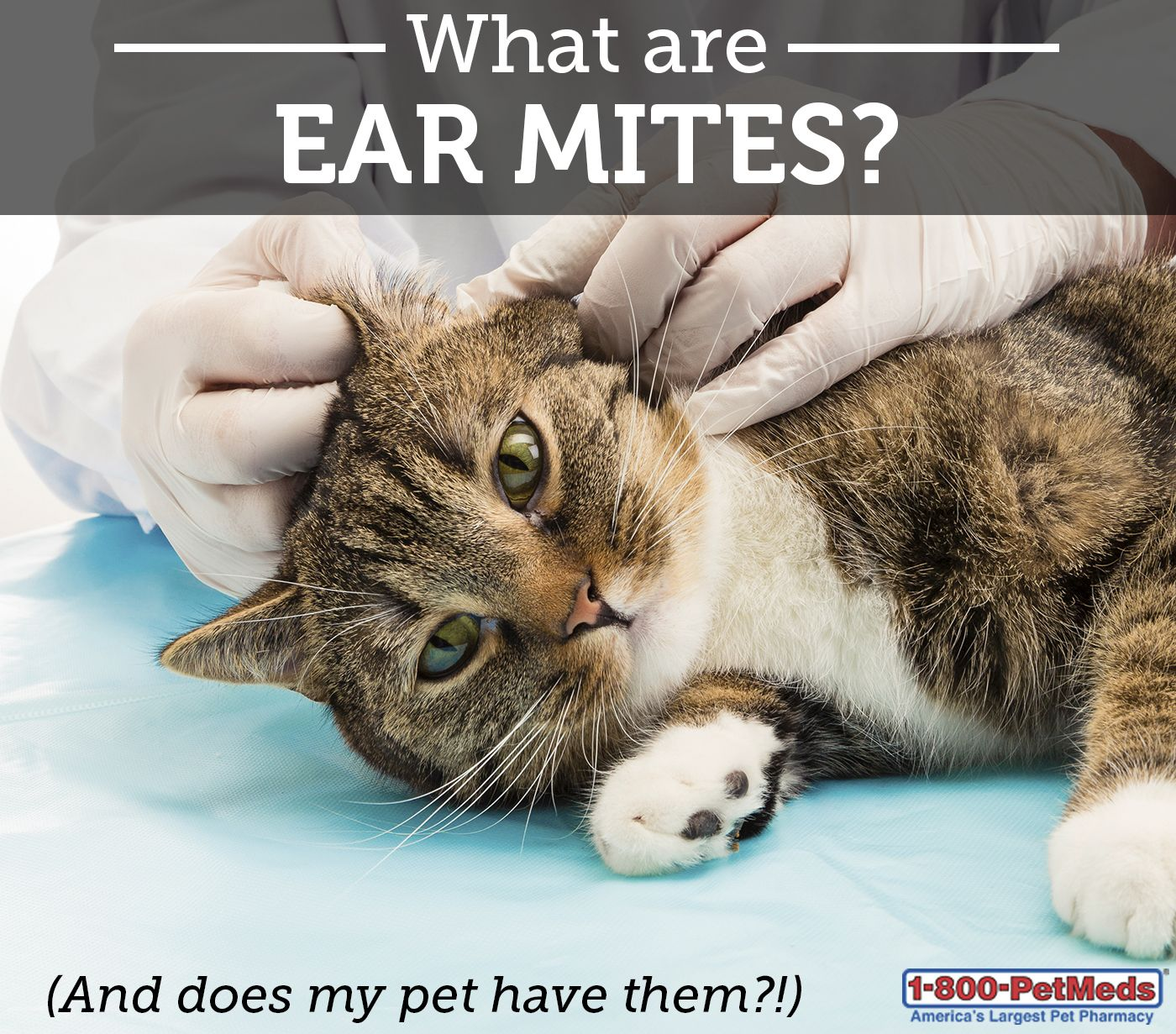 What Causes Ear Mites in Dogs and Cats? 1800PetMeds