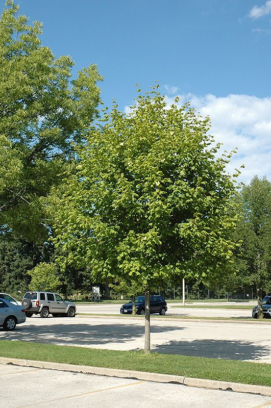 Click To View Full Size Photo Of Green Column Black Maple Acer