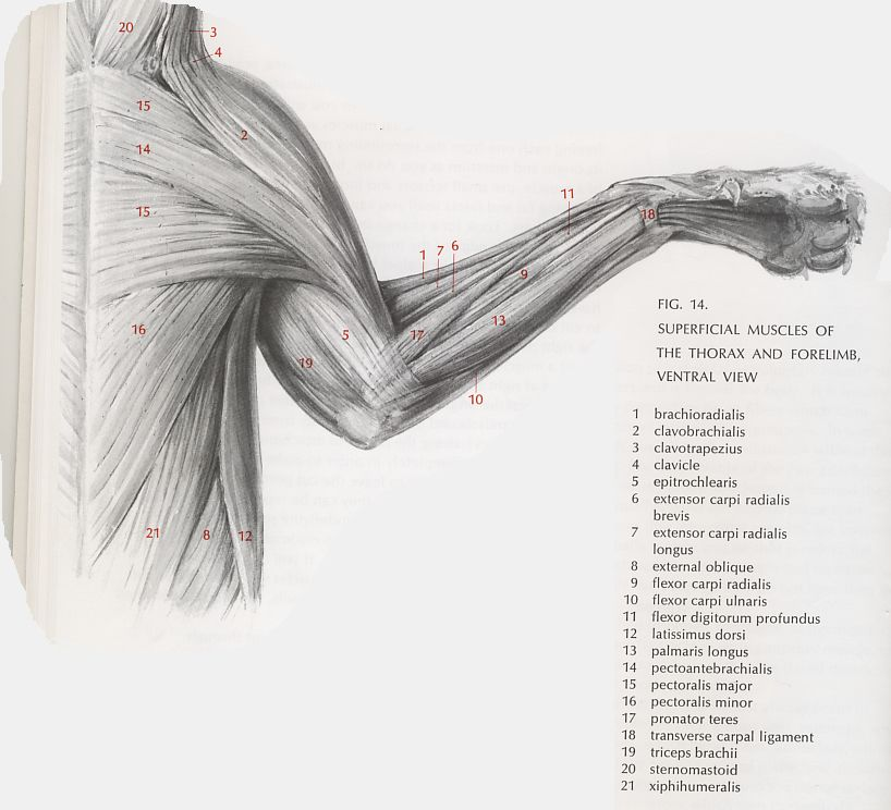 cat dissection muscle diagram back wiring speakers in parallel this is a very detailed of muscles it will help me study for the lab practicals