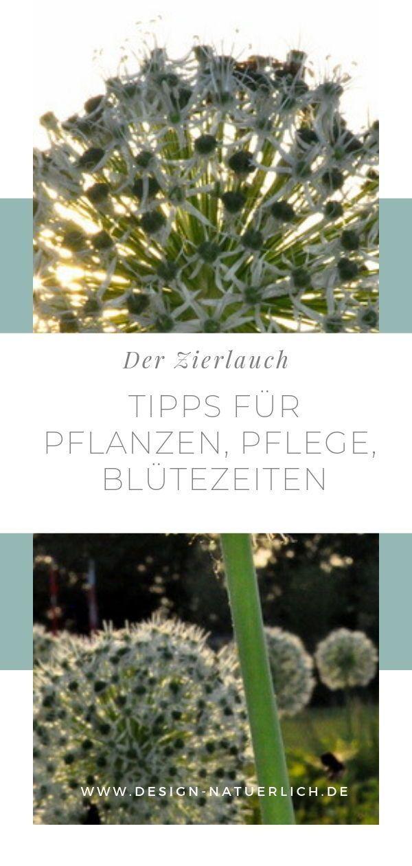 Allium - Zierlauch im Garten #beetanlegen