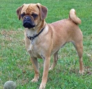 All About The Pug Beagle Mix Aka The Puggle Small Dog Breeds