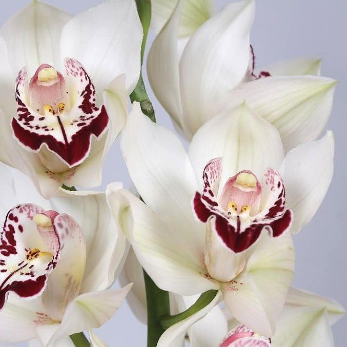 Cymbidium Orchid Blizzard Are Perfect For Wedding Flower Arrangements They Create A Natural And Delicate Look Also Great Fo Cymbidium Orchids Orchids Flowers