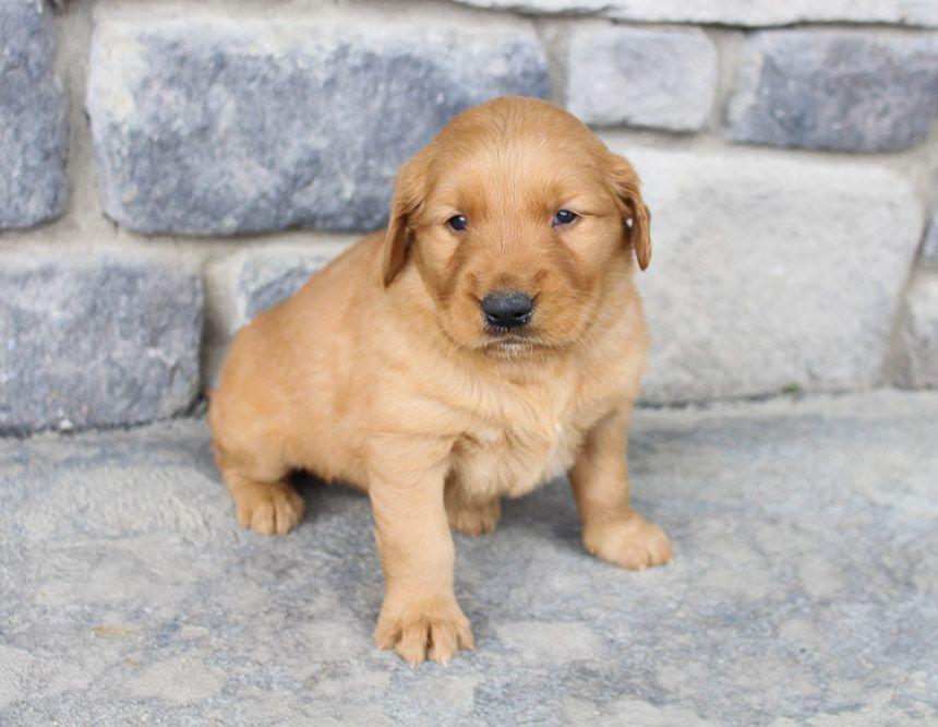 Golden Retriever Puppies Near Me Cheap