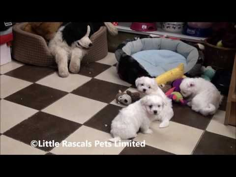 Coming Soon Maltese Terrier Puppies Pedigree Puppies For Sale