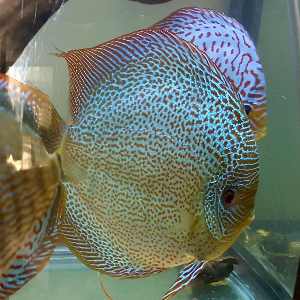 Photo Gallery Of Discus Fish Live Tropical Fish Live Tropical Fish Discus Fish Aquarium Fish Tank Freshwater Aquarium Fish
