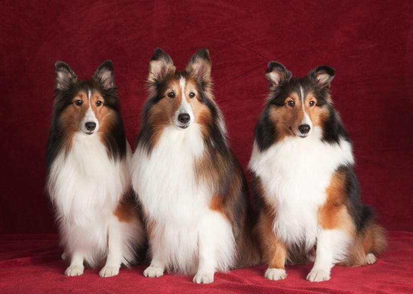 The Shetland Sheepdog Or Sheltie Is Essentially A Miniaturized