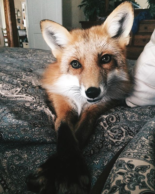 Facts: Foxes are not like owning a dog or cat  Foxes smell