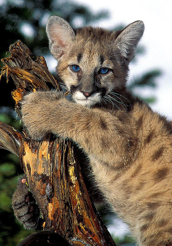 Pin on Animals [Big Cats and Wild Cats]
