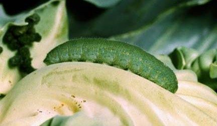 Organically controlling Imported Cabbageworms on cruciferous vegetables