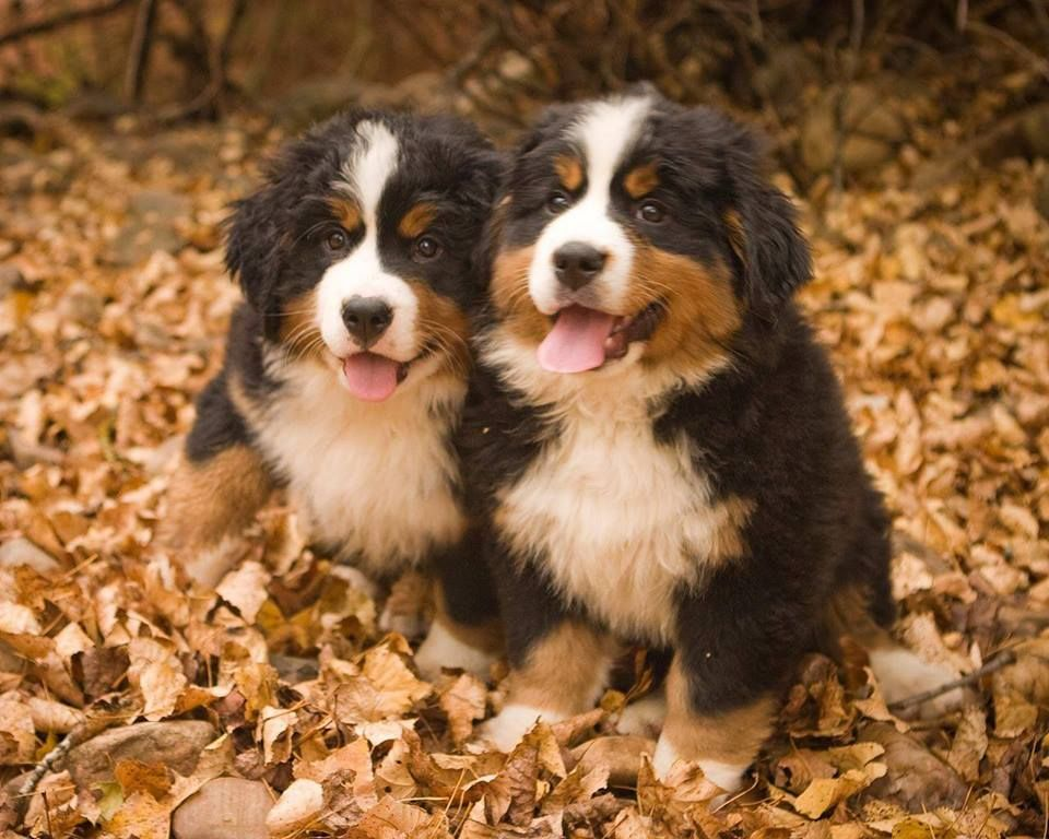 2 Baby Berners With Images Bermese Mountain Dog Bernese Mountain Dog Puppy