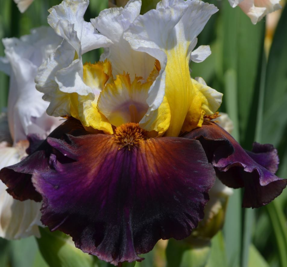 Tall Bearded Iris Trumpedburseen08 Exciting Dazzling Colors