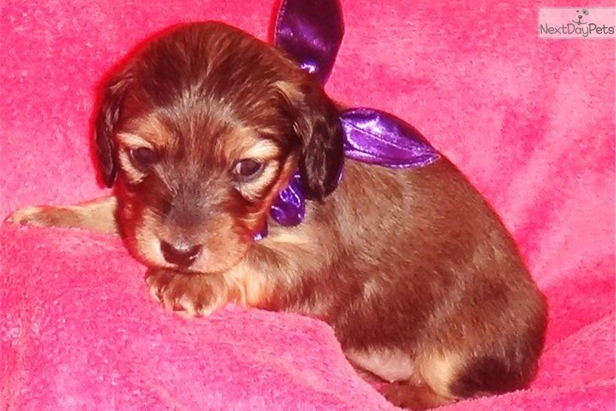 Dachshund, Mini puppy for sale near Dallas / Fort Worth