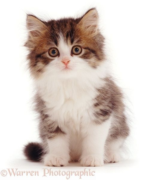 Brown Tabby And White Kitten Kittens Cutest Cute Cats White
