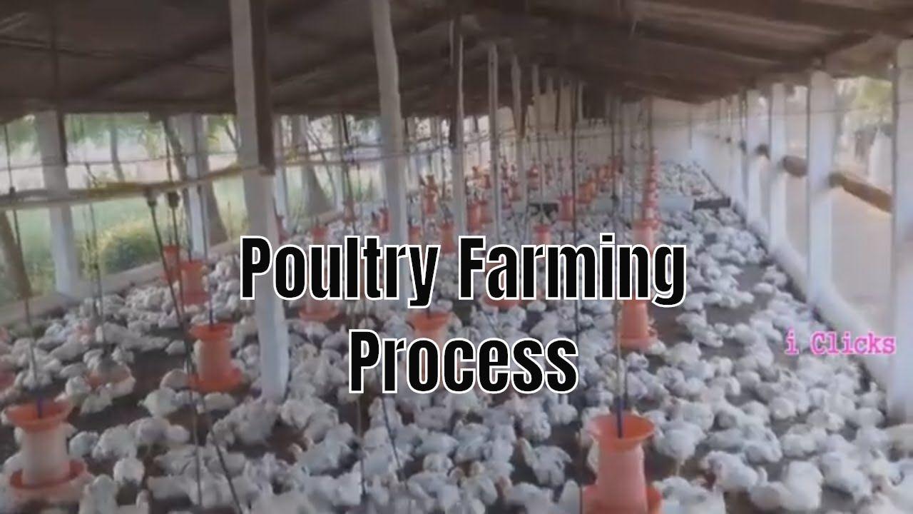 Poultry Farming Process Poultry farm, Poultry