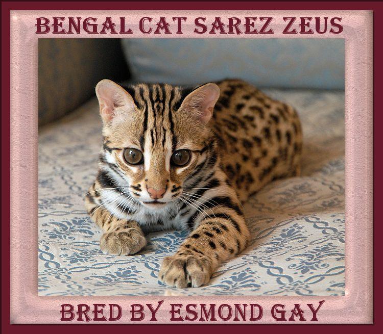 Zeus the Ultimate F1 Bengal Cat Asian leopard cat, Cats