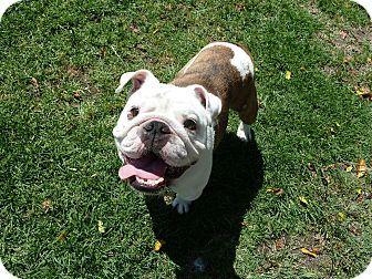 Pin By So Cal Bulldog Rescue On Bulldogs Needing Homes Dogs Pet Adoption English Bulldogs For Adoption