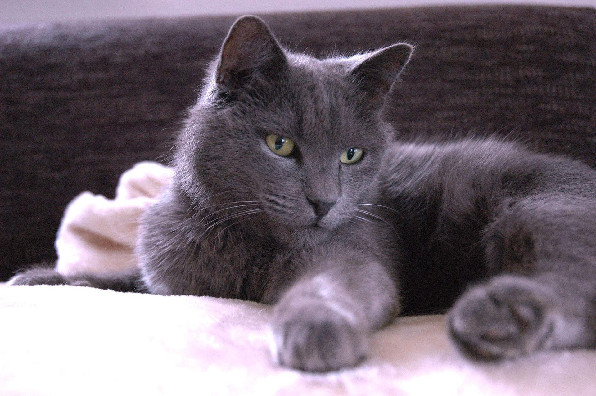 Chartreux Chats bleus Pinterest