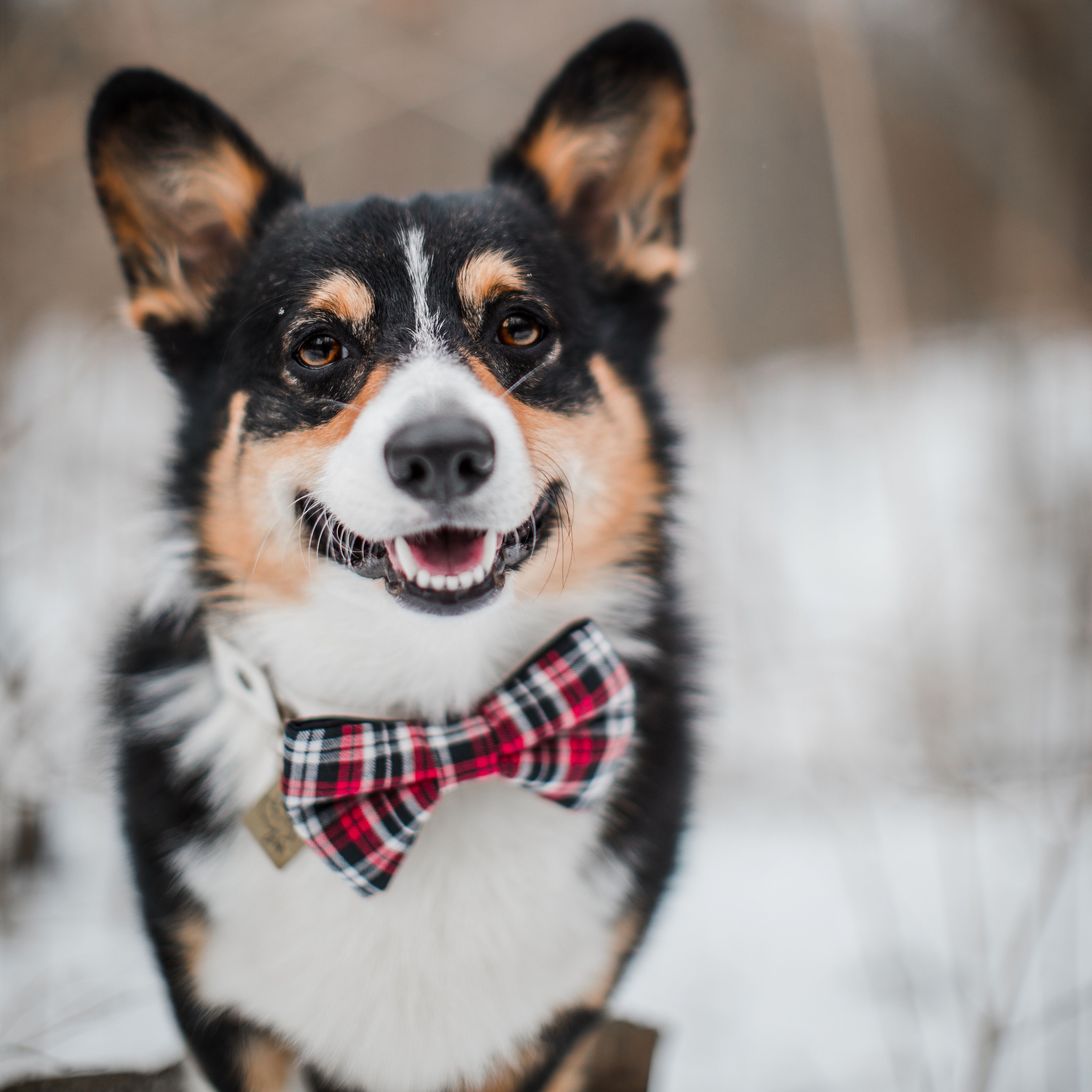 Hoot and co bow tie pet bow tie collar bow tie