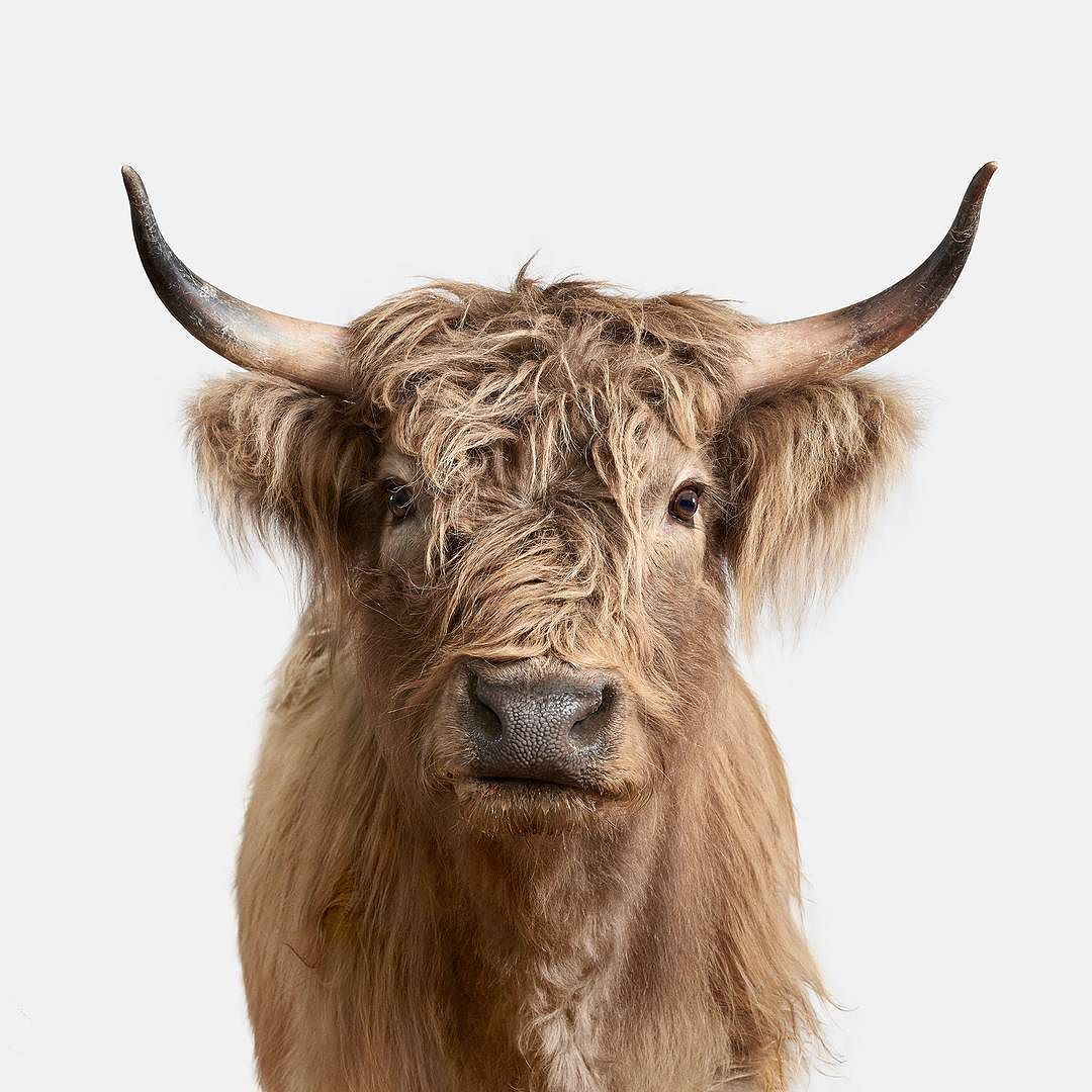 Scottish Highlander Tattoo: Eleanor Highland Cow No. 2... When Imperfect Is Oh So