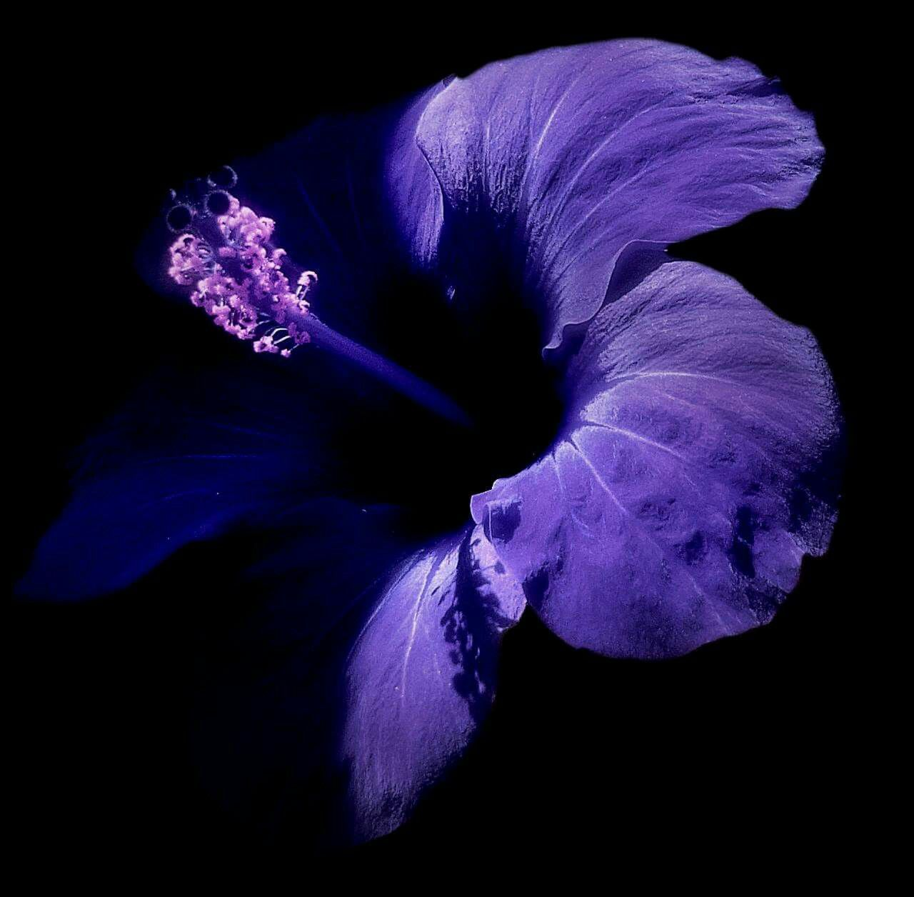 Light blue flowers names topsimages hibiscus light navy blue i knew name origin jpg 1280x1256 light blue flowers names izmirmasajfo