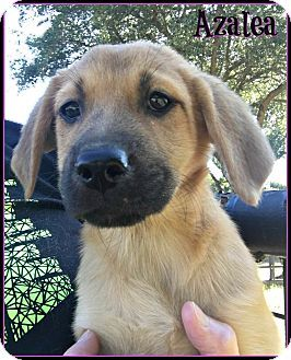 East Hartford Ct German Shepherd Dog Labrador Retriever Mix Meet Azalea A Puppy For Adoption Http Www Adopta German Shepherd Dogs Dogs