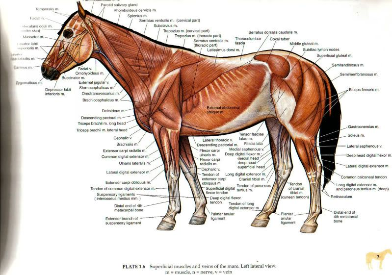 Pin by egeland on Essential Oils | Horses, Horse anatomy