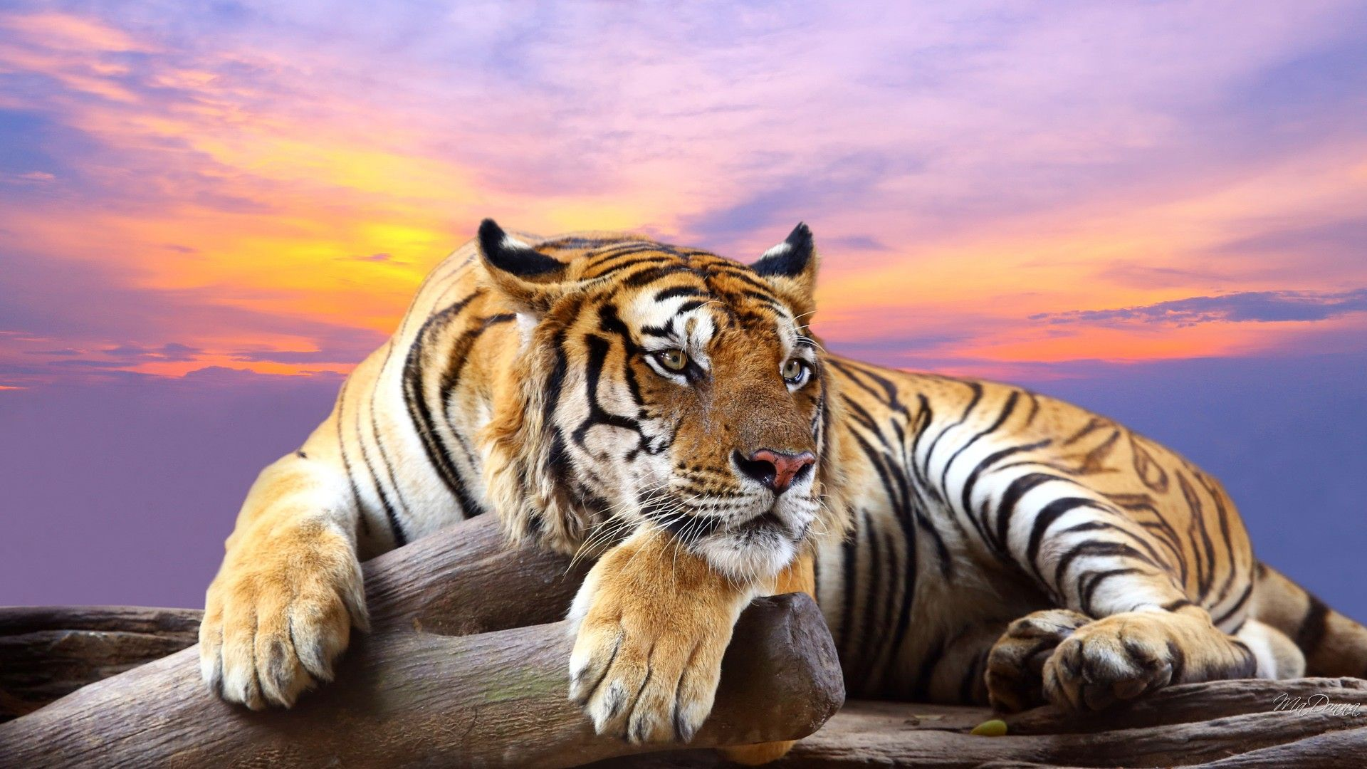 tiger wallpaper desktop background | animals wallpapers | pinterest