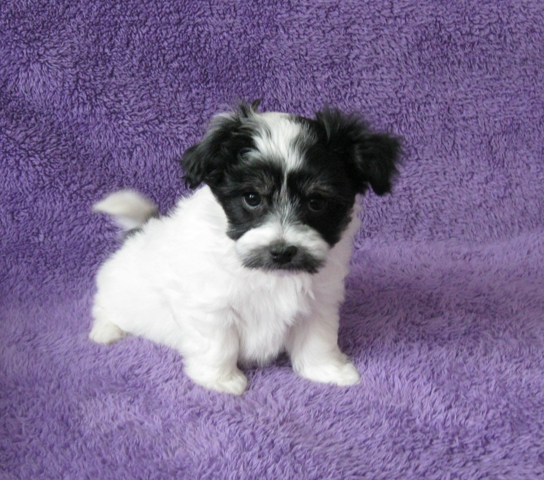 How Much Are Havanese Puppies Worth References
