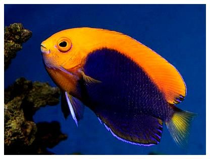 Pygmy Angelfish The African Flameback Angel Saltwater Fish Tanks Angel Fish Saltwater Aquarium Fish