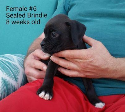 Boxer Puppy For Sale In Corydon In Adn 33721 On Puppyfinder Com