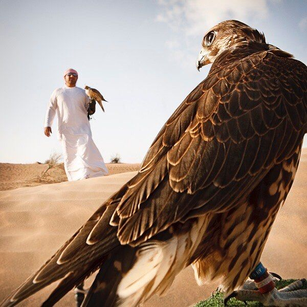 DidYouKnow Falcons are the national bird of the United Arab