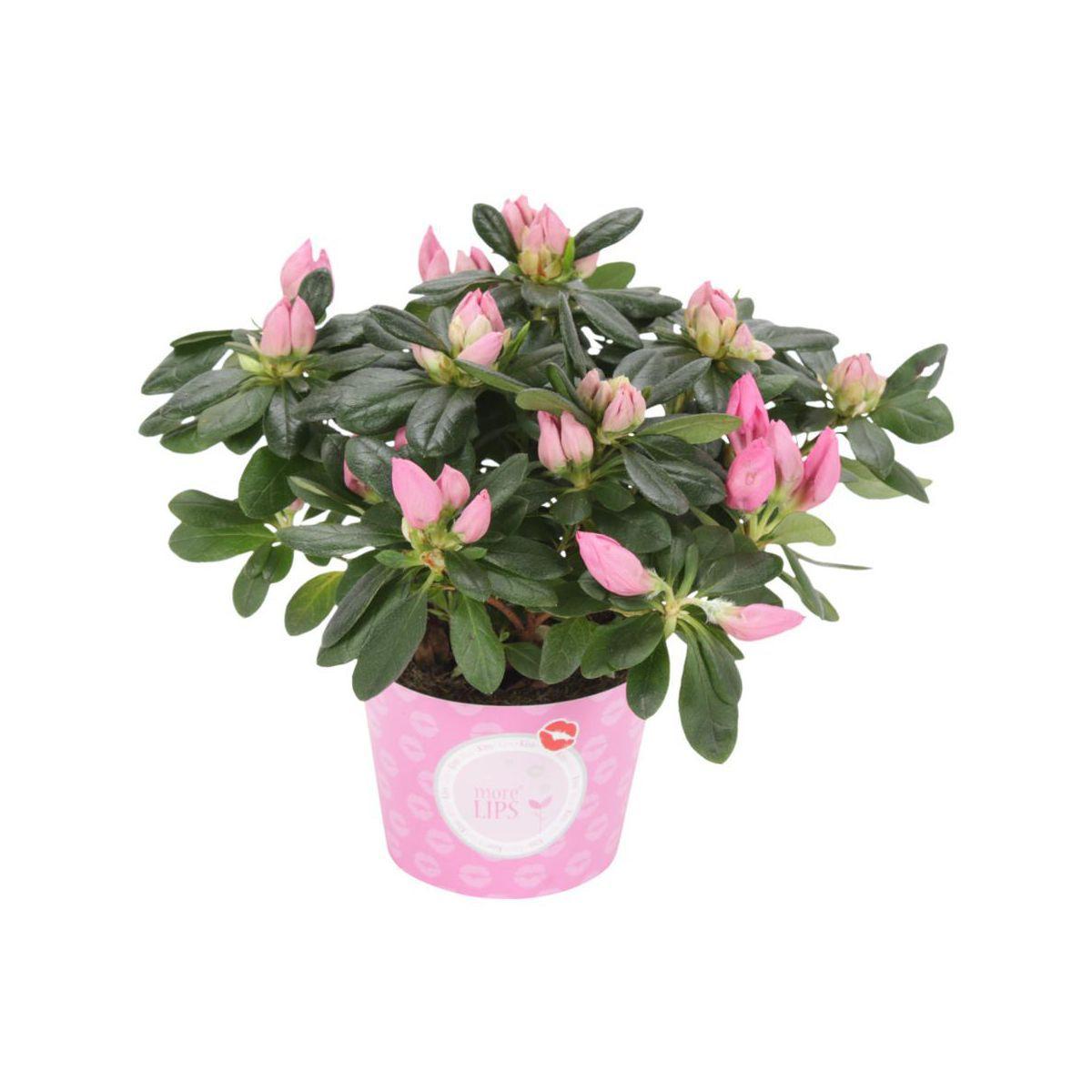 Azalia Mix 20 Cm Kwiaty Doniczkowe W Atrakcyjnej Cenie W Sklepach Leroy Merlin Azalia Plants