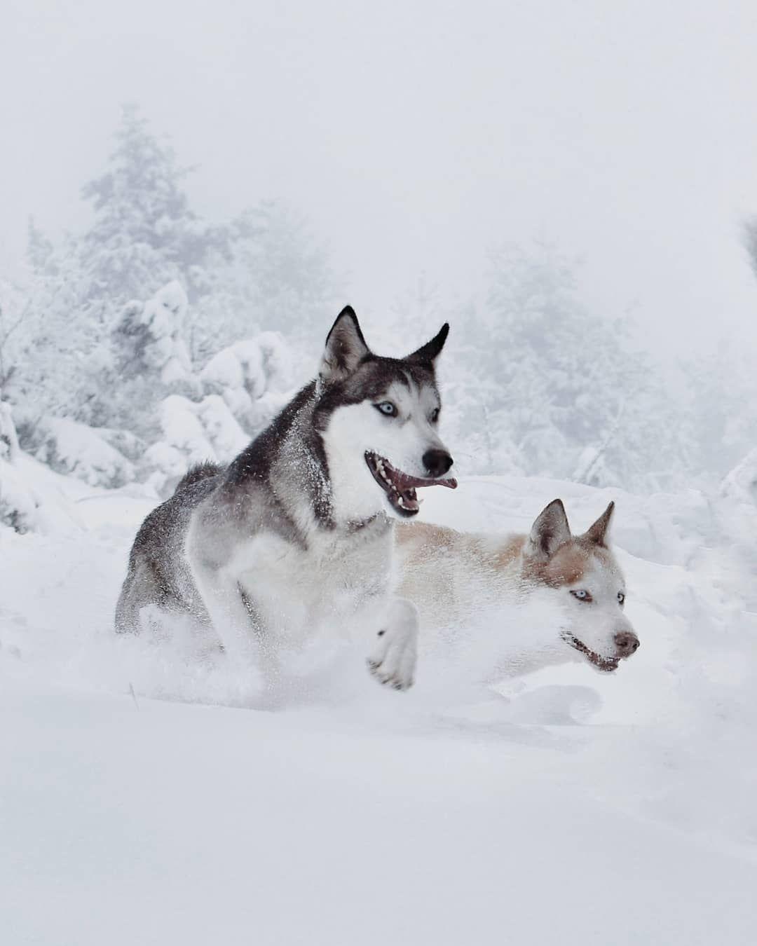 Husky Dogs Running In Snow Siberianhusky Husky Dogs Siberian