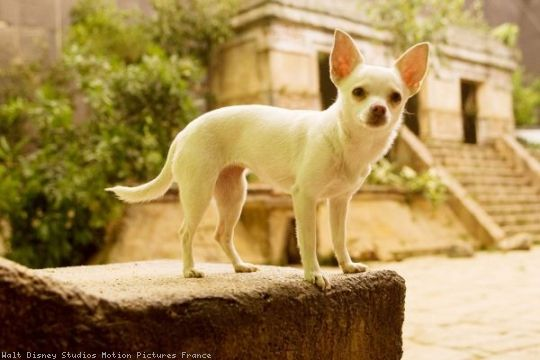 Angel As Chloe In Beverly Hills Chihuahua Repinned By Www