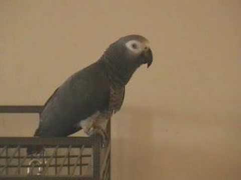 African Grey Bird Videos